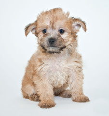 Wall Mural - Yorkie Poo Puppy