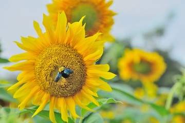 Morning with bumble bee and sunflower.