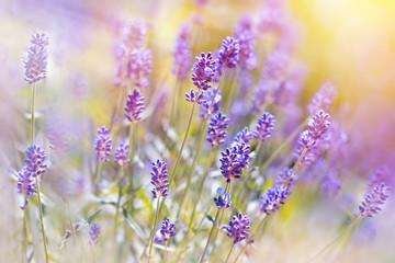 Lavender flower in my garden