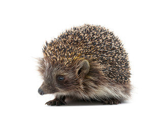 little hedgehog isolated on white background close up