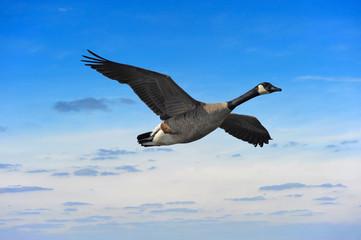 Canada Goose in flight against sunset