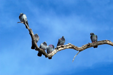 Rock Doves on Dead Tree Limb