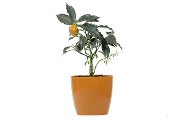 Citrofortunella mitis Oranges, native to China.