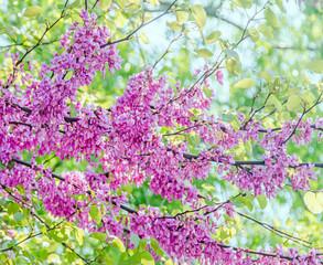 Mauve, purple Cercis siliquastrum tree flowers,  Judas tree.