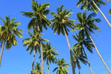 Towering Coconut Trees