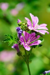 Fiore viola su prato, sfondo verde prato, giardino