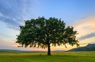 Beautiful Oak at the sunset