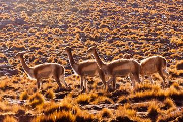 Vicunas or lamas in Bolivian altiplano
