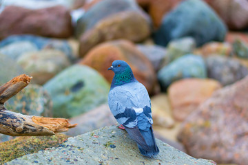 Dove on a background of stones
