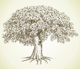 Vector picture. Oak with green crown