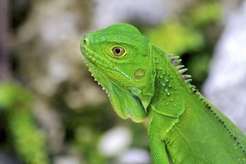 Green Male Iguana, Fairchild Gardens