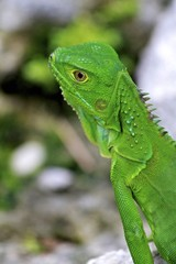 Young Green male iguana, Fairchild Gardens