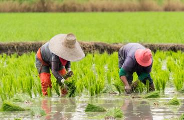 Two woman transplant rice seedlings