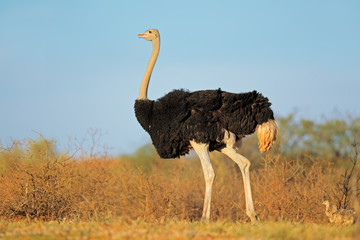 Male ostrich with chicks, Kalahari desert