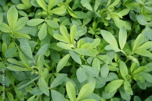 Piante Di Erba : Quot piante di erba medica nel campo immagini e fotografie