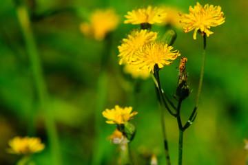fiori gialli nel prato
