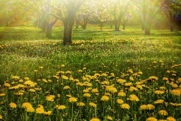 Beautiful dandelions in the sunlight