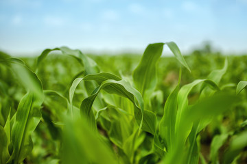 Young Maize Corn Crops Leaves in Field