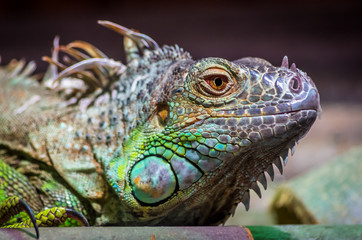 Close-up of a male Green Iguana (Iguana iguana). Green Iguana Reptile Portrait Closeup