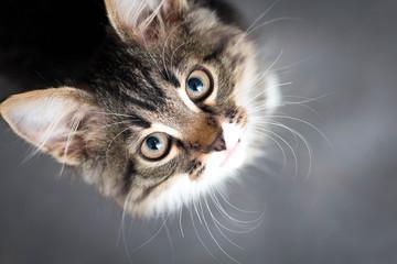 mały puszysty kotek na szarym tle