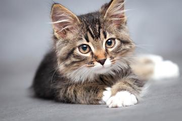 portrait of lying cat