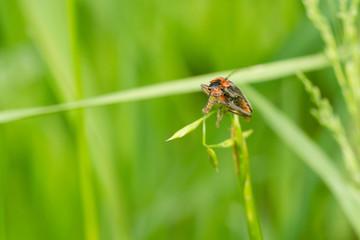 langhaariger Käfer