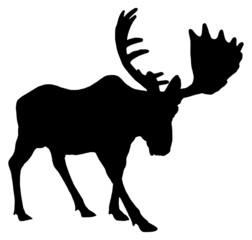 Adult moose