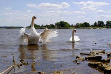 Eine Schwanfamilie an der Elbe