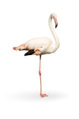 white flamingo stand on white background