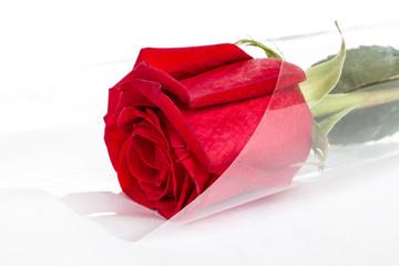 Scarlet, red rose