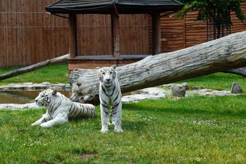 Biały tygrys bengalski
