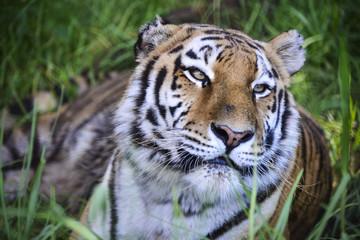 Tiger in der Wildnis