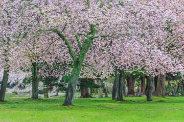 Pink flowering sakura