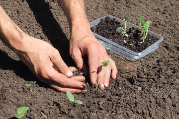 The male hands putting seedling of a cucumber to the earth