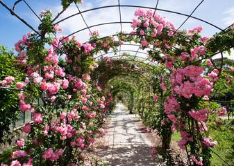 romantic rosebed walk under blue sky