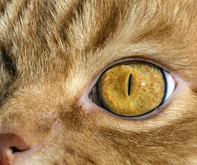 Close up image of cat's eye. Red orange fur cat head eye macro narrow black pupil