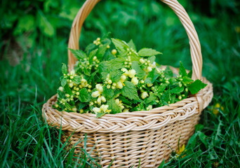 Deadnettle yellow (Galeobdolon luteum) in basket outdoors