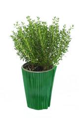 un plant de thym