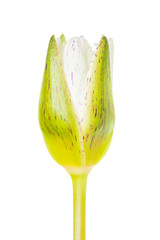 white lotus bud flower isolated on white background (water lily)