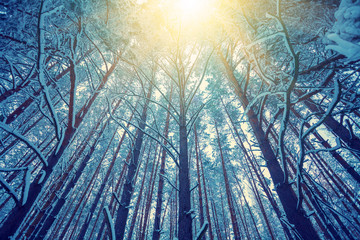 Vintage frame from tall trees covered with snow at sunset