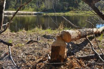 Beaver felled oak barrel.