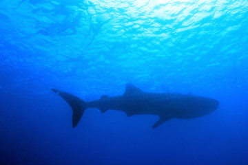 Whale Shark (Rhincodon Typus) and Snorkeler Silhouettes against the Surface from Below, South Ari Atoll, Maldives