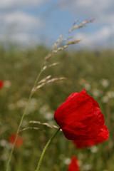 Beautiful red poppy in a field.