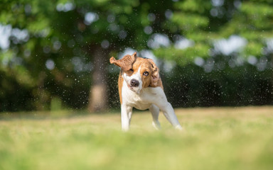 Refreshing Summer Ideas - Beagle dog