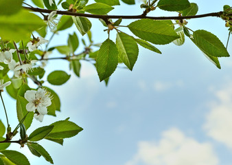 Background of flowers and leaves of cherry against the sky