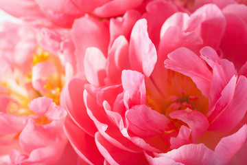 Wall Mural - pink peony flower petals macro background