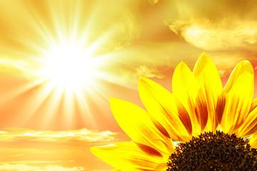 Sunflower close-up, sunset background