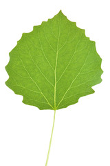 Aspen tree leaf