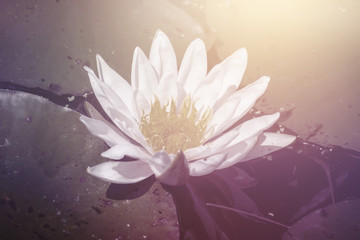 white water lily flower floating on a pond