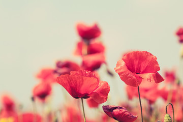 Photo sur cadre textile Bestsellers Poppy flowers retro peaceful summer background